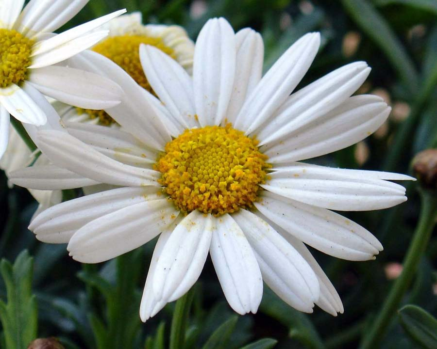 Leucanthemum hosmariense