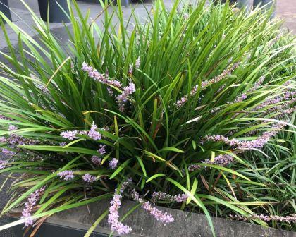 Liriope Muscari Evergreen Giant Gardensonline