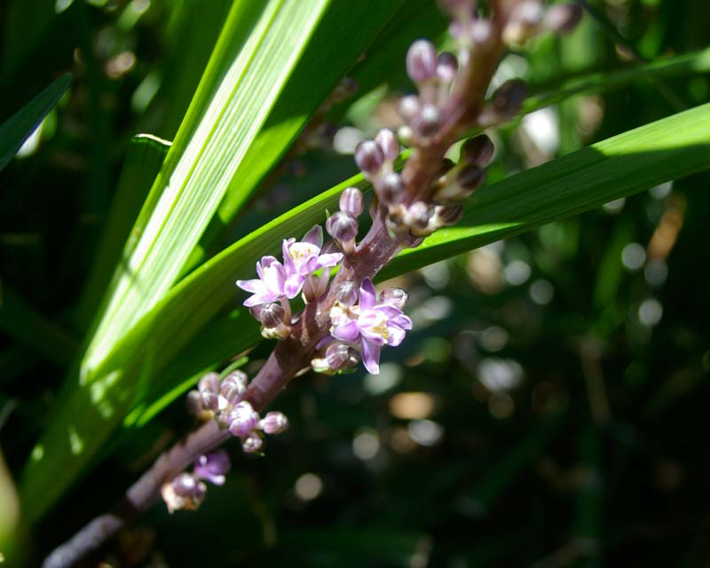 Liriope spicata - violet brown stems and pale violet flowers