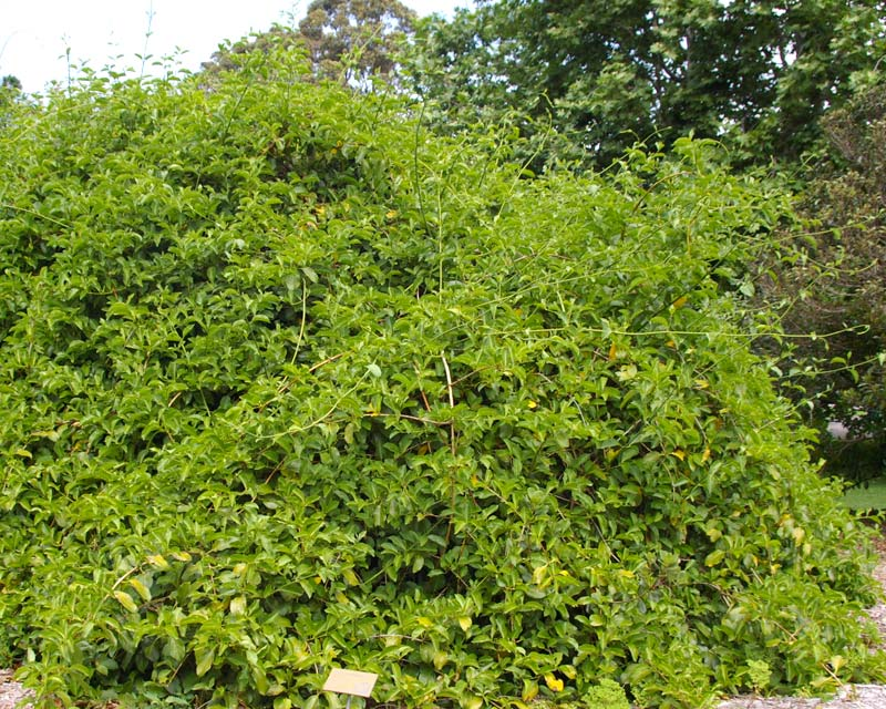 Lonicera hildebrandiana - Giant Burmese Honeysuckle - this is a vigorous climber if left without supports tends to form a mound