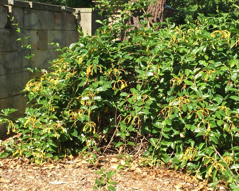 Lonicera hildebrandiana - Giant Burmese Honeysuckle bears yellow flowers in summer