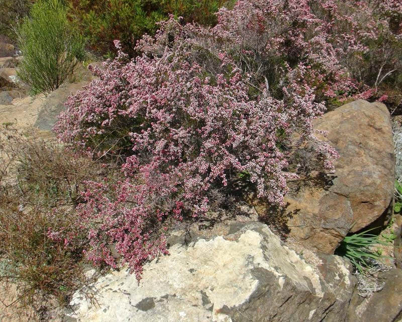 Micromyrtus ciliata - low growing shrub - covered with pink/white flowers during spring