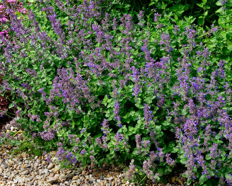 Nepeta racemosa Little Titch, a smaller variety growing to about 30cm tall and wide