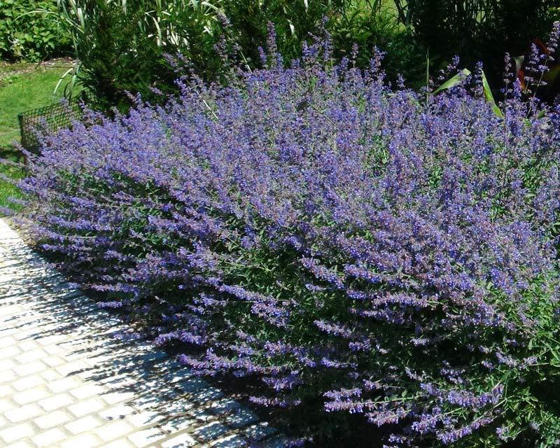 Gardensonline Nepeta Racemosa
