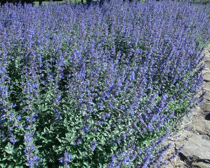 Nepeta racemosa - this is Walkers Low Catmint