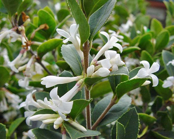GardensOnline: Osmanthus delavayi