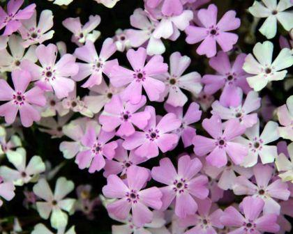 Gardensonline plant finder phlox subulata betty pretty pink flowers good as ground cover mightylinksfo