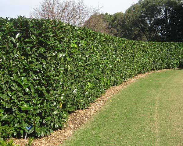 Gardensonline prunus laurocerasus - Plantas para setos altos ...