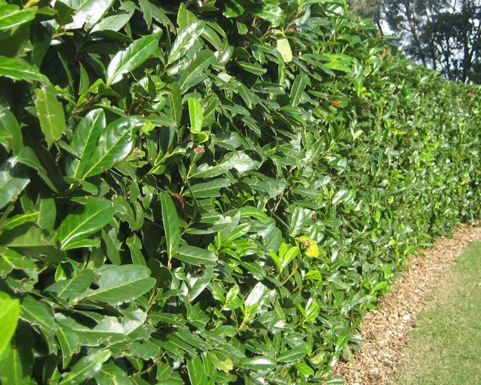 Gardensonline Prunus Laurocerasus