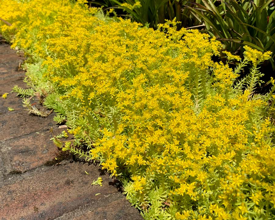 Sedum mexicanum 'Gold Mound'