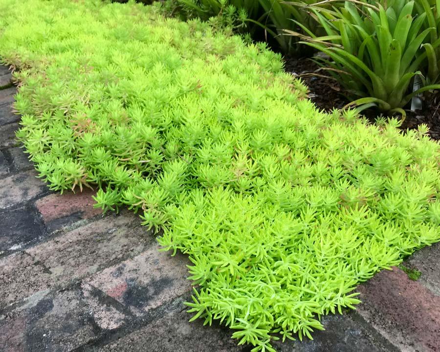 GardensOnline Sedum Mexicanum