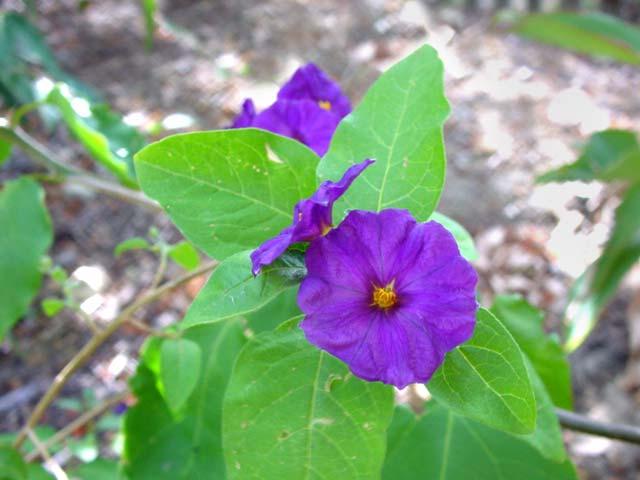 Gardensonline solanum rantonnetii solanum rantonnetii paraguay nightshade purple flowers deep yellow stamen mightylinksfo Choice Image