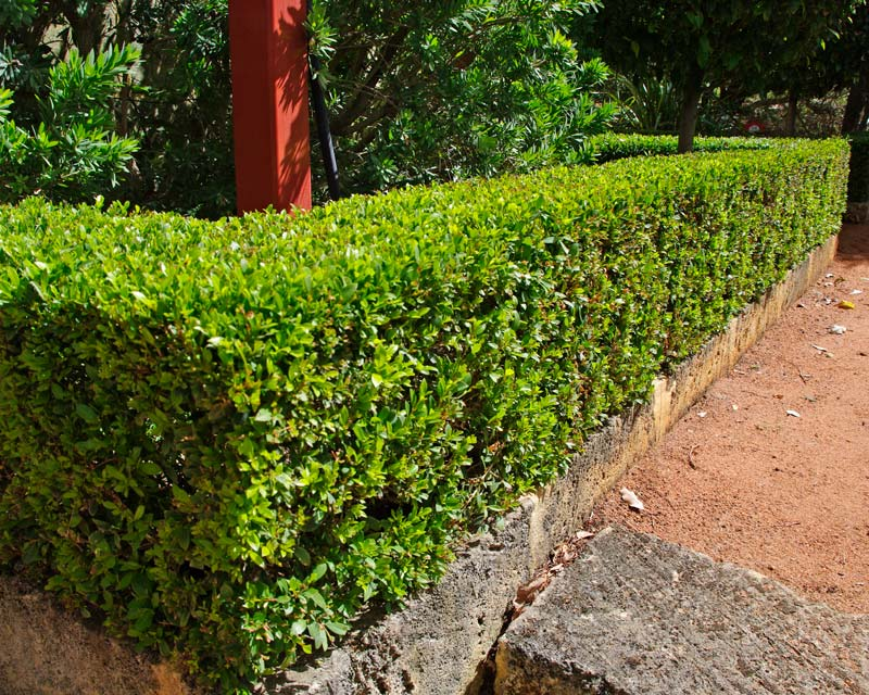 Syzygium australe Tiny Trev - perfect for low hedging