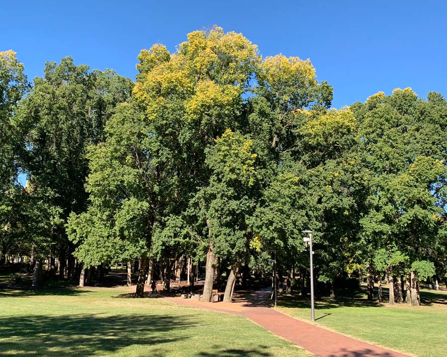 Ulmus procera - English Oak - Glebe Park in Autumn