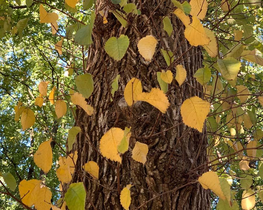 leaves turning yellow in autumn - Ulmus procera