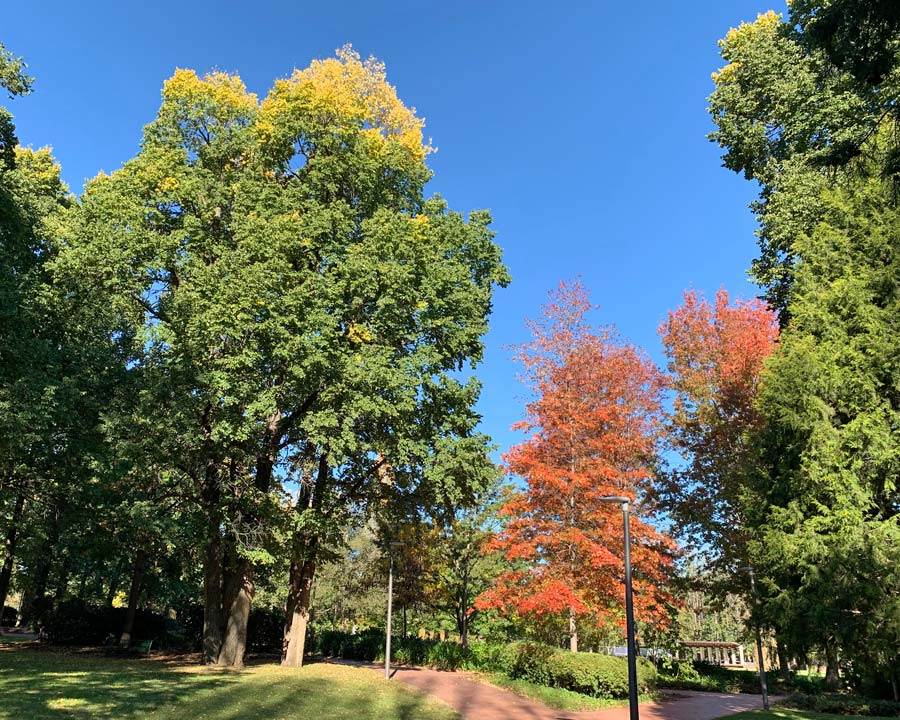 Glebe Park Canberra in Autumn. Pistacia chinensis leaves turn red and Ulmus procera leaves start to turn yellow