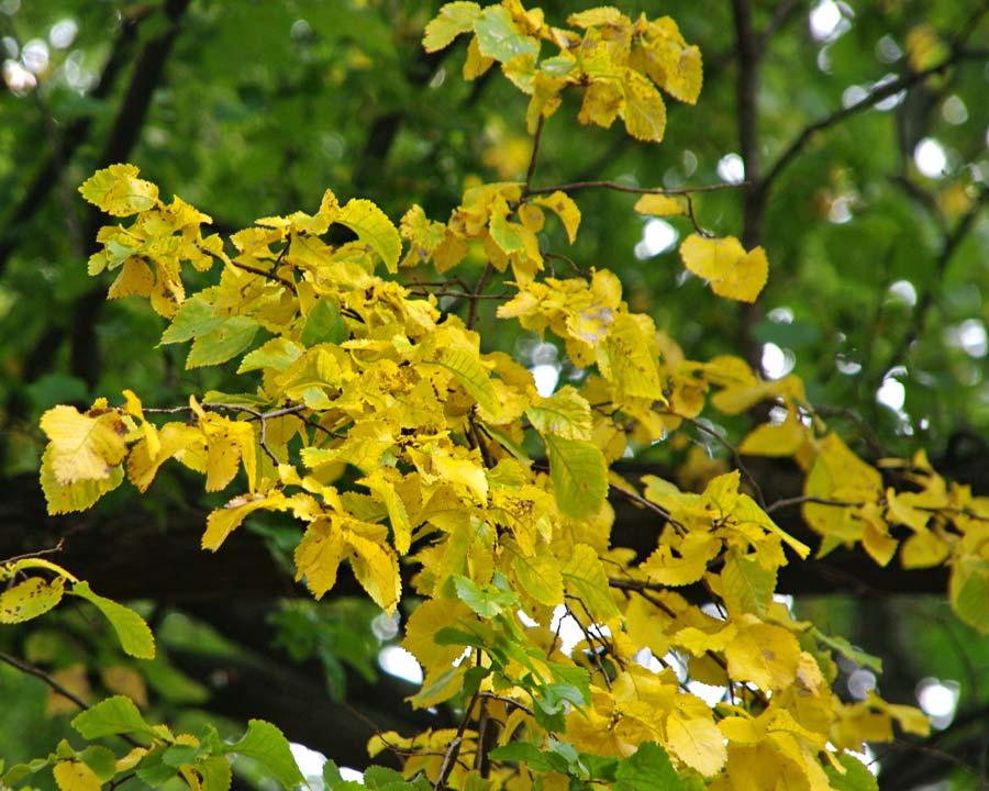 English Elm, Ulmus procera - yellow leaves in autumn