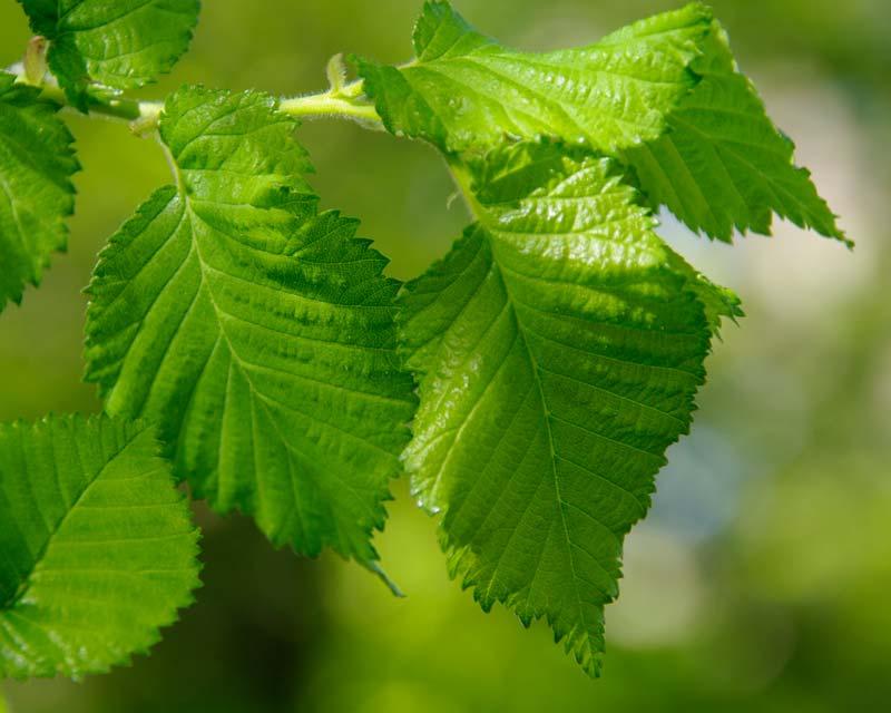 Ulmus procera - English Elm leaves