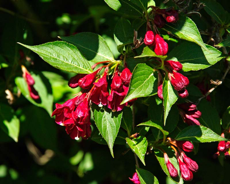 Weigela Florida Eva Rathke has deep red flowers and bright green leaves