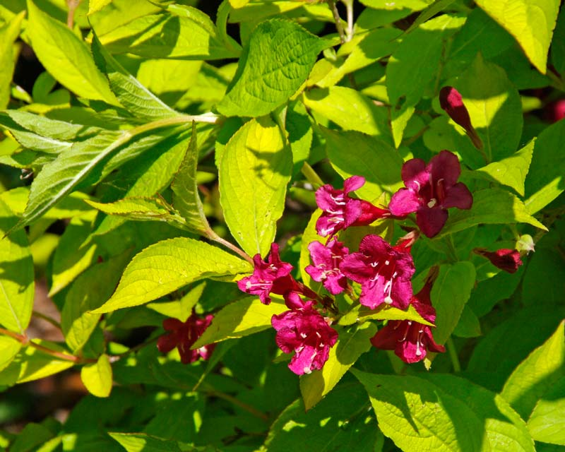 Pale yellow-green leaves and deep pink flowers of Weilgala Florida Gold Rush