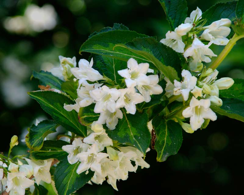 Weigela Florida Milk and Honey has white flowers, the leaves are variegated dark and lighter green