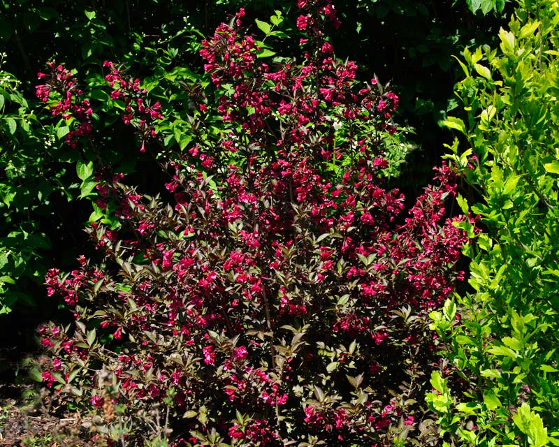 Weigela Florida Wine and Roses has deep red flowers and dark olive green leaves