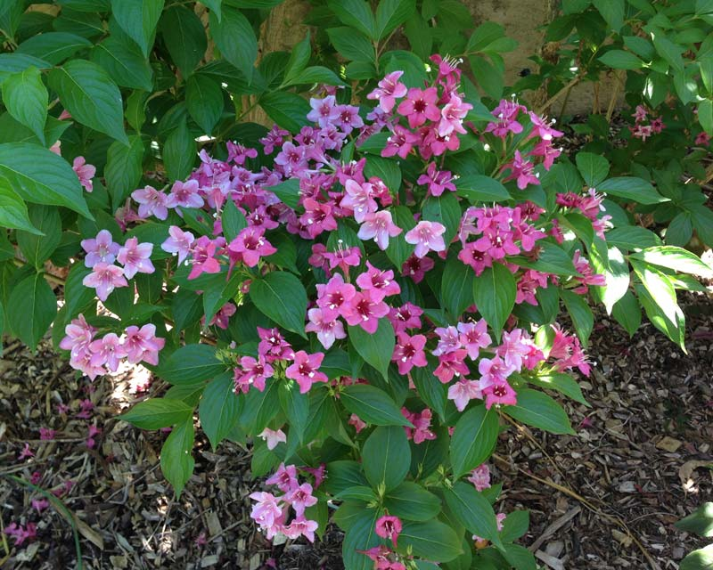 Weigelia florida