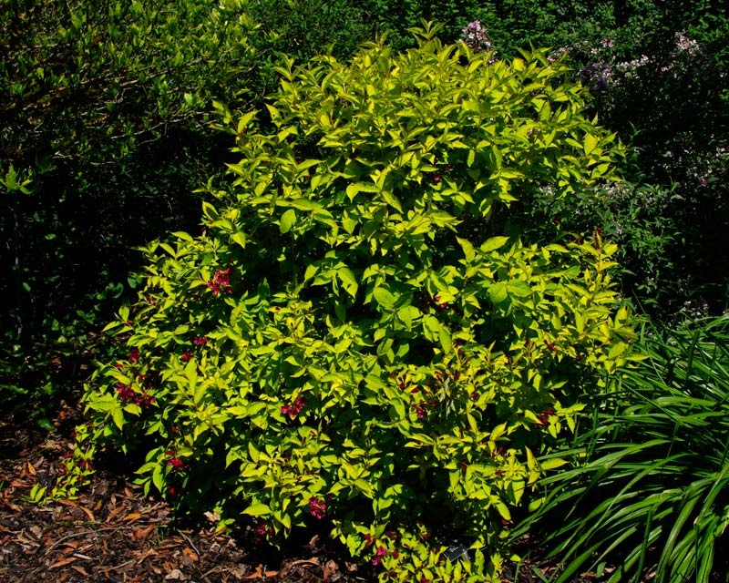 Weigela Florida Gold Rush - the yellow-green leaves provide great contrast against the deeper green leaved plants