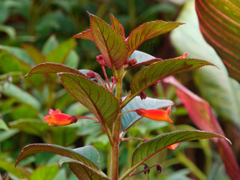Kohleria eriantha - Red trumpet