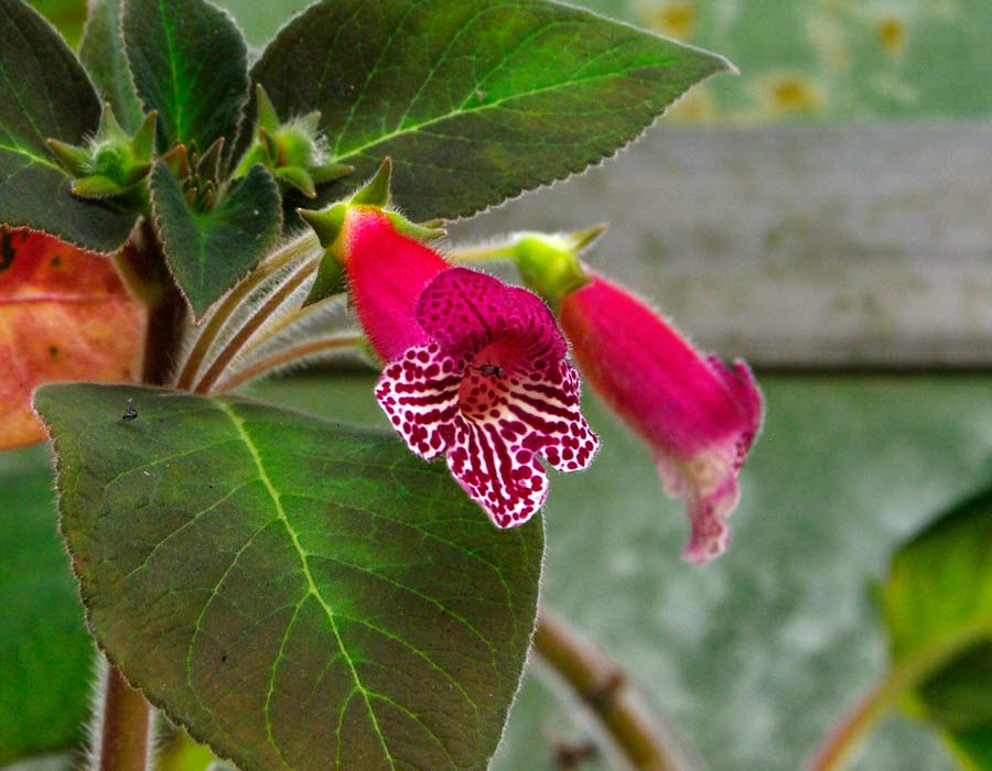 Kohleria 'Ruby Red' Magenta and white flowers