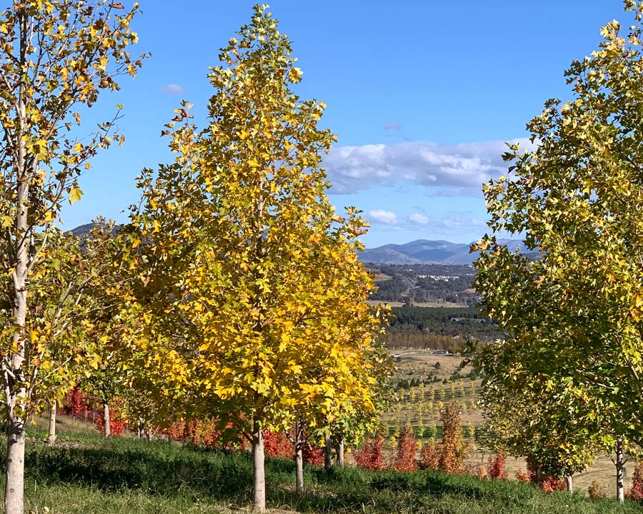 Yellow leaves in autumn - Liriodendron chinense