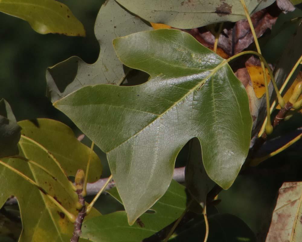Liriodendron chinense leaf