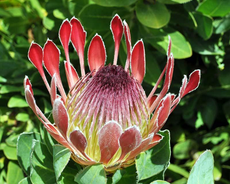 Protea eximia - photo © Citron / CC-BY-SA-3.0