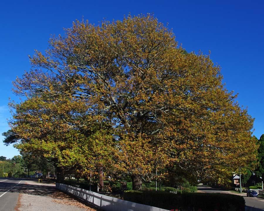 Quercus robur - English Oak - autumn in Berrima