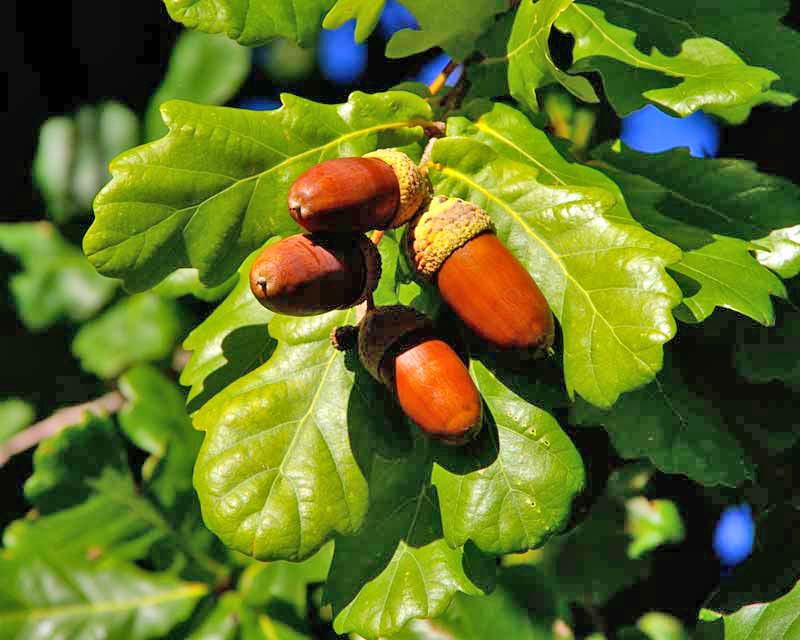 Quercus robur acorns