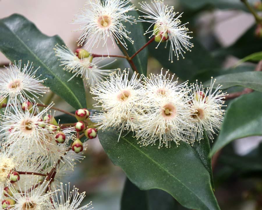 Syzygium oleosum - fluffy white flowers made up of lots of stamen