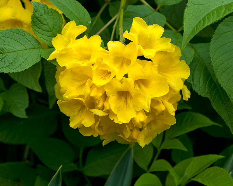 Tecoma stans - large yellow trumpet shaped flowers