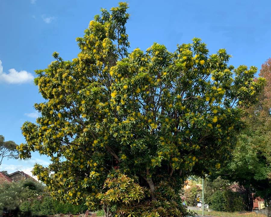 Xanthostemon chrysanthus - Golden Penda