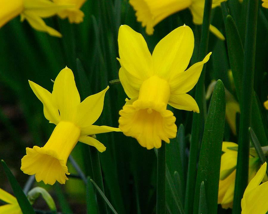 Narcissus Cyclamineus group - 'Tweety Bird'