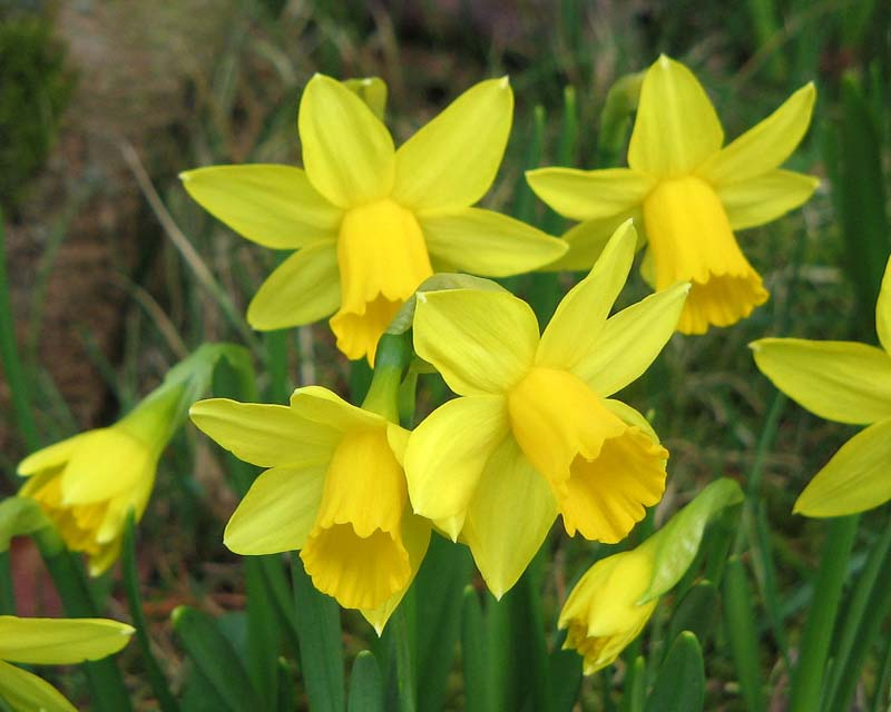 Narcissus Tete a Tete delicate minature daffodils - photo by Meneerke bloem
