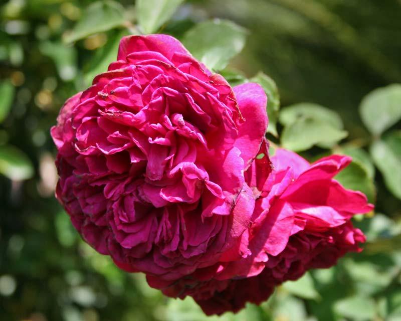 Rosa David Austin - William Shakespeare