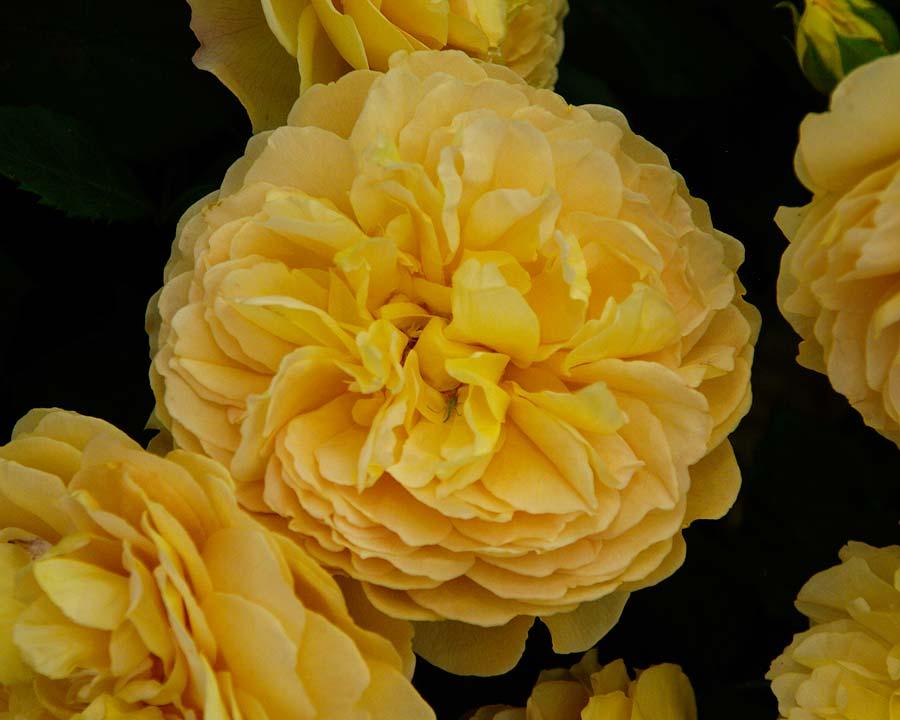 Rosa David Austin - Golden Celebration