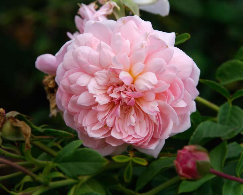 Rosa David Austin Anne Boleyn