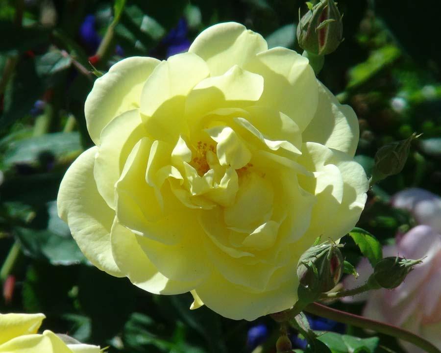 Rosa David Austin Blythe Spirit