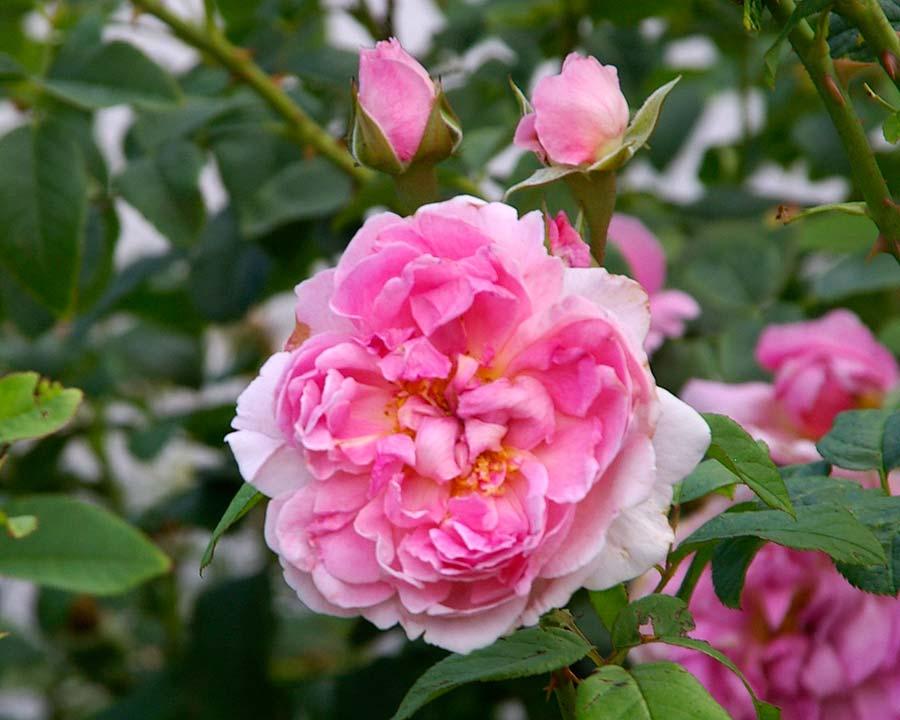Rosa David Austin Cottage Rose