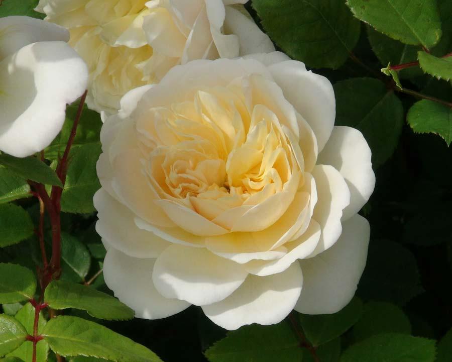 Rosa David Austin Crocus Rose