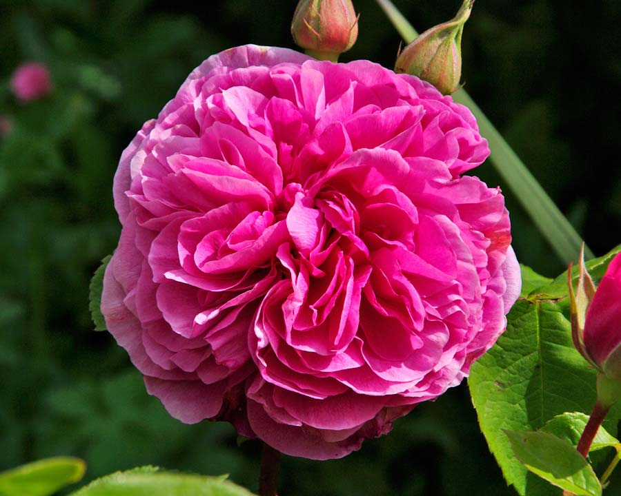 Rosa David Austin Gertrude Jekyll
