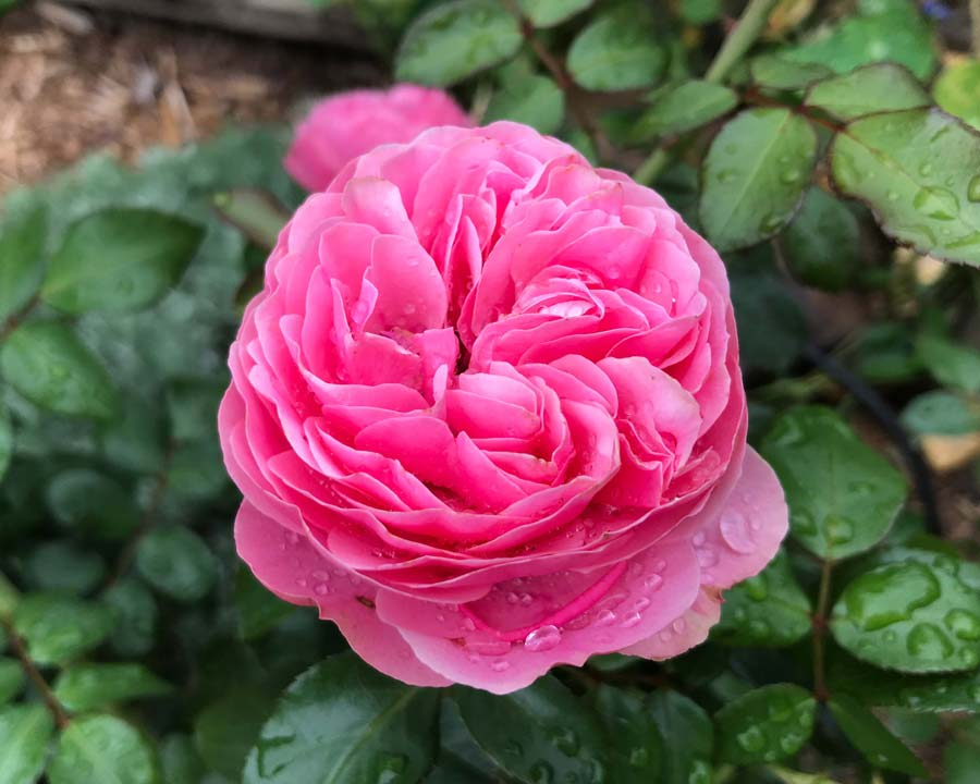 This is the Gertrude Jekyll rose from David Austin