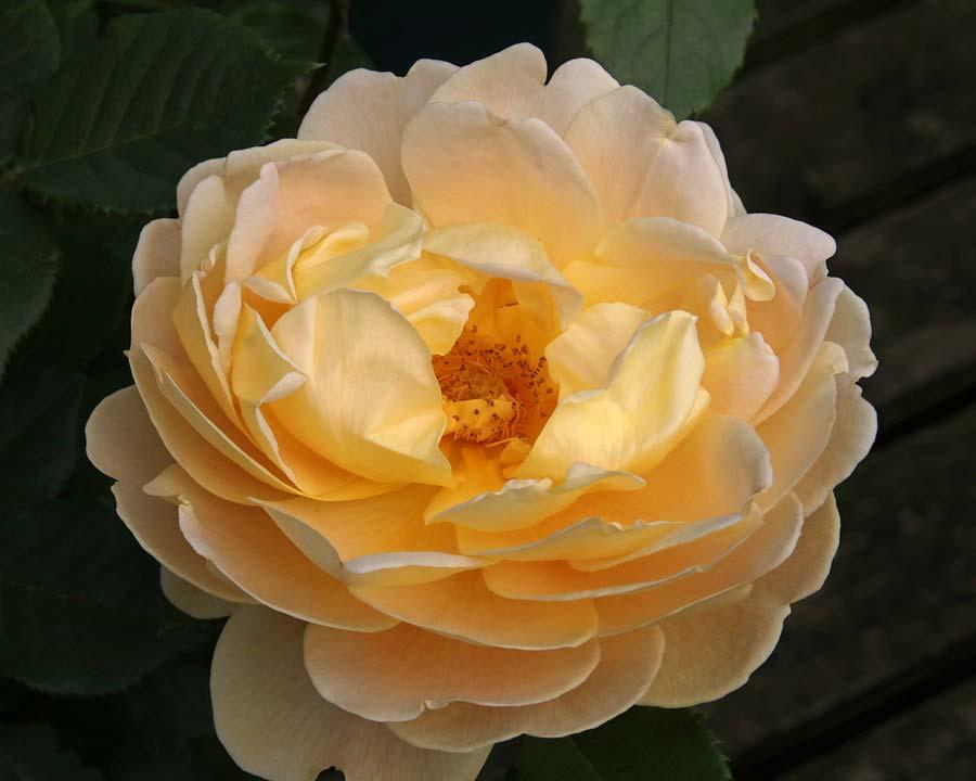 Rosa David Austin 'Golden Celebrations' (Ausgold)