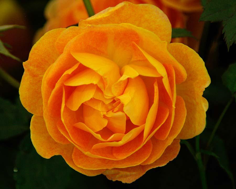 Rosa David Austin Lady of Shallot